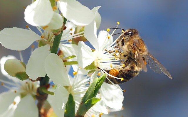 Abeja visitando las flores de cerezo