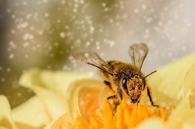 Abeja cubierta de polen durante su alimentación
