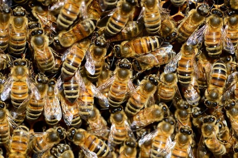 a abelhas pixabai