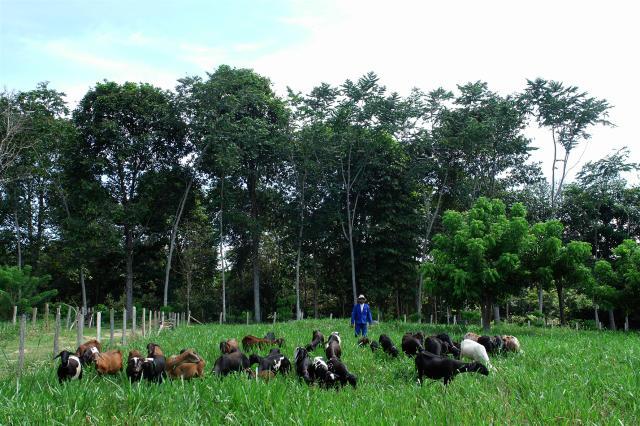 a gado integracao lavoura pecuaria