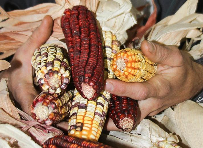 a milho itanhaém