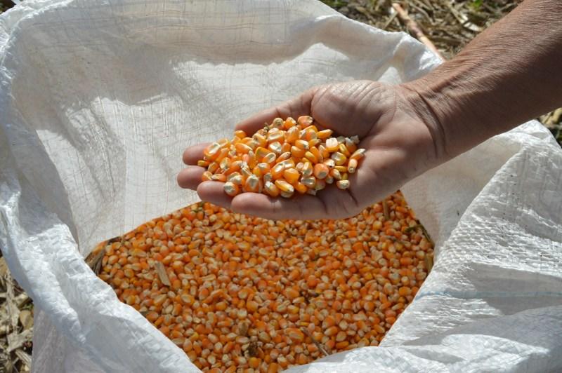 a milho organico