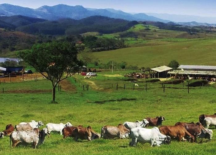 a _ gado leiteiro campo