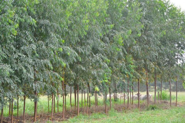 a - arvore plantada