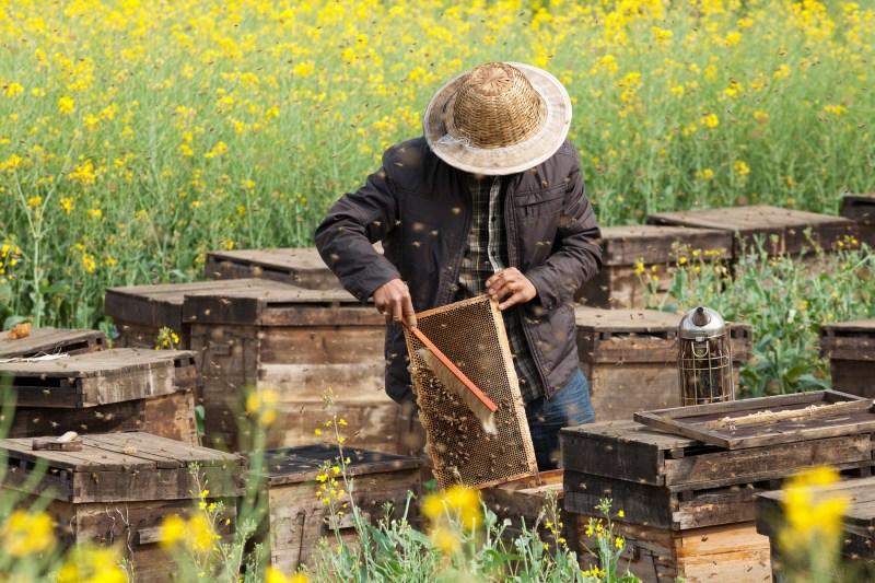 a - apicultor