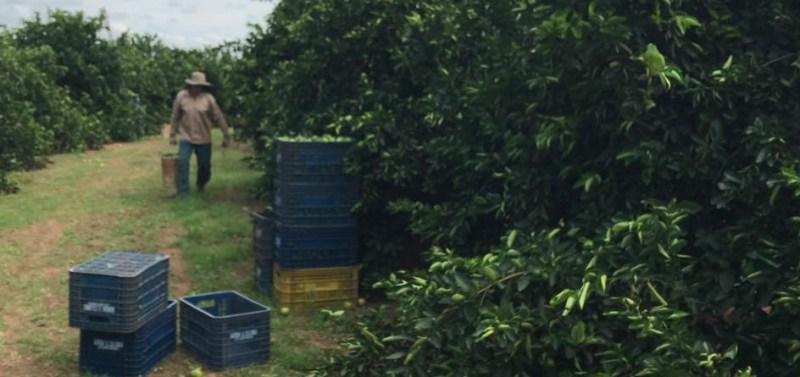 limao plantacao colheita