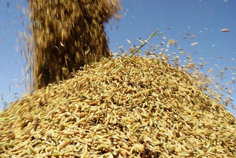 arroz em casca
