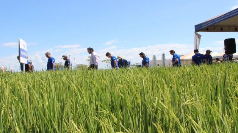 arroz nova variedade tocantin