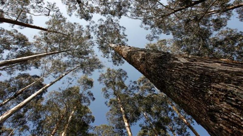 floresta plantada embrapa