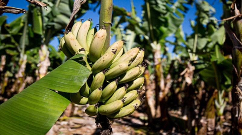banana-cacho-df-amalia-goncalves-secom-unb