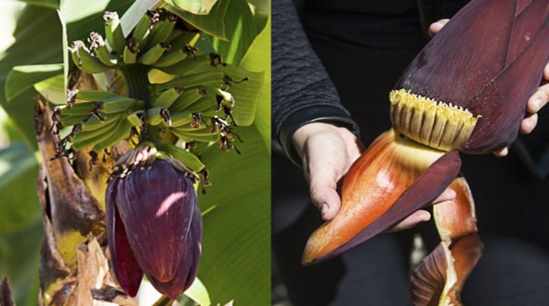 banana-umbigo-projeto-unb-amalia-goncalves-secom-unb