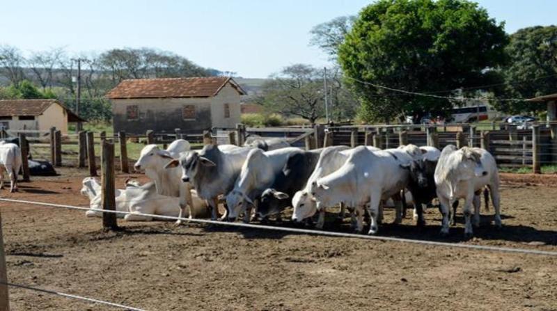 gado confinamento 17