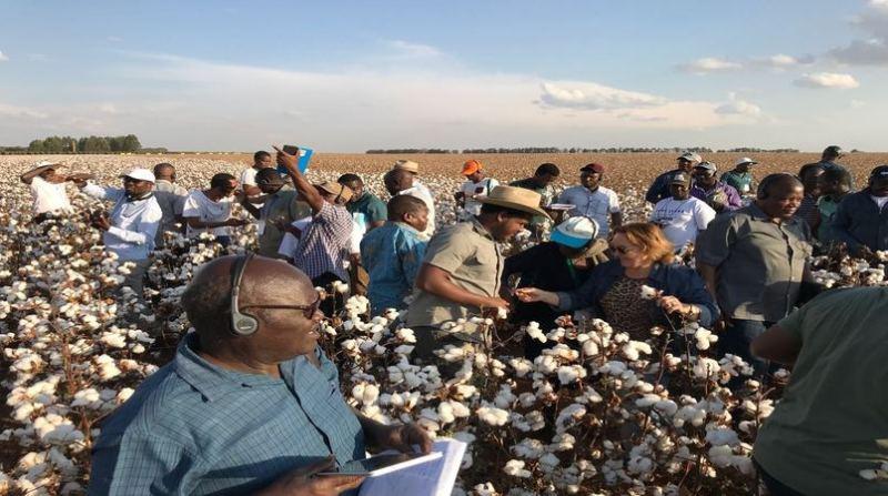 africanos plantacao algodao mg amipa