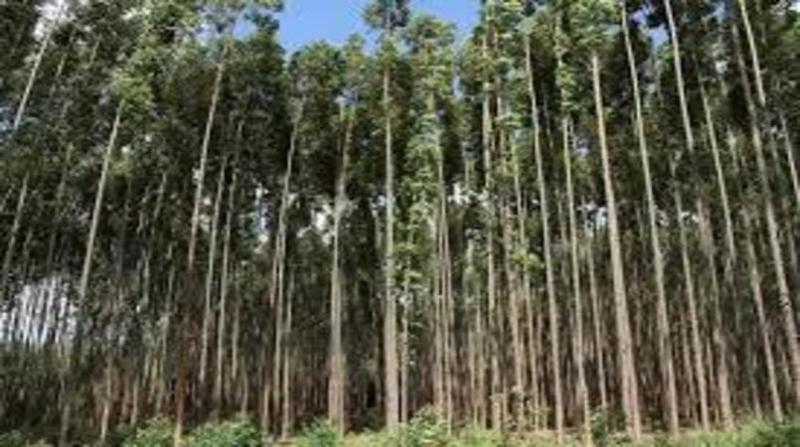 florestas plantadas 31