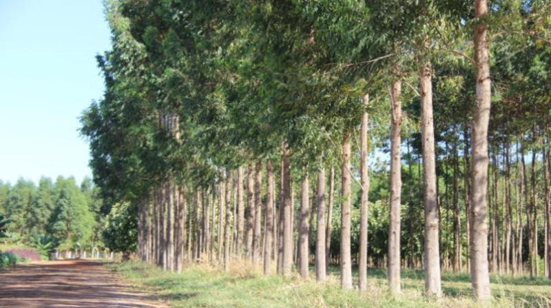 florestas plantadas 5 9