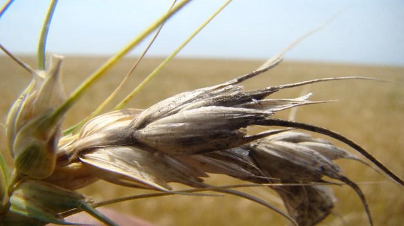 trigo brusone 25 9