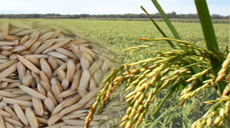 arroz 30 arte embrapa marcos aurelio goncalves