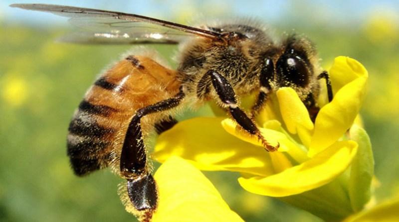 abelha 6 11 embrapa alberto massaro junior