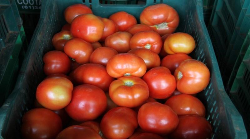 tomateeliorizzo20.jpg20