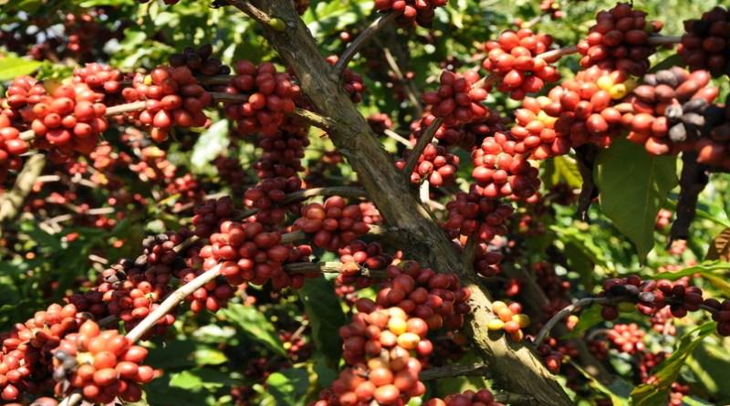 Conab indica queda na produção de café em 2019