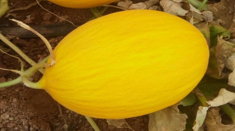 Melão BRS Araguaia tem bom desempenho no cultivo orgânico