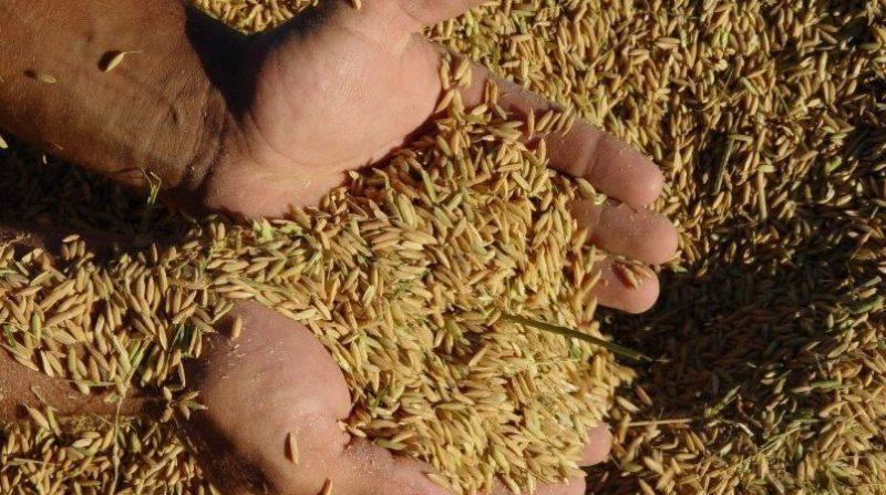 arroz em casca 25 25 2 19