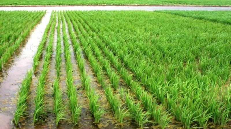 arroz plantacao 18 18 2 19