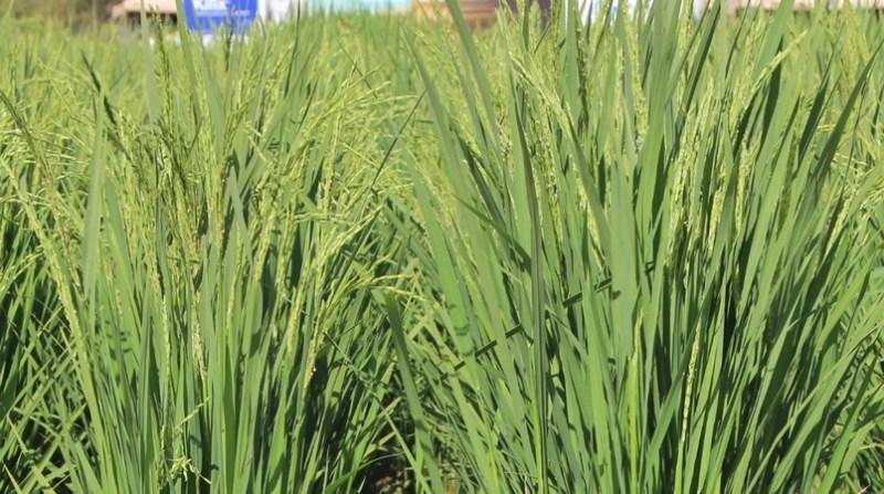 arroz tocantins embrapa 1 2 19