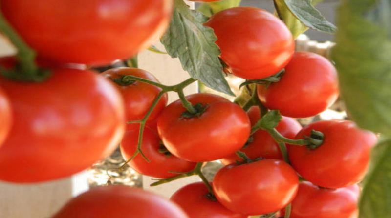 tomate embrapa 20 2 19
