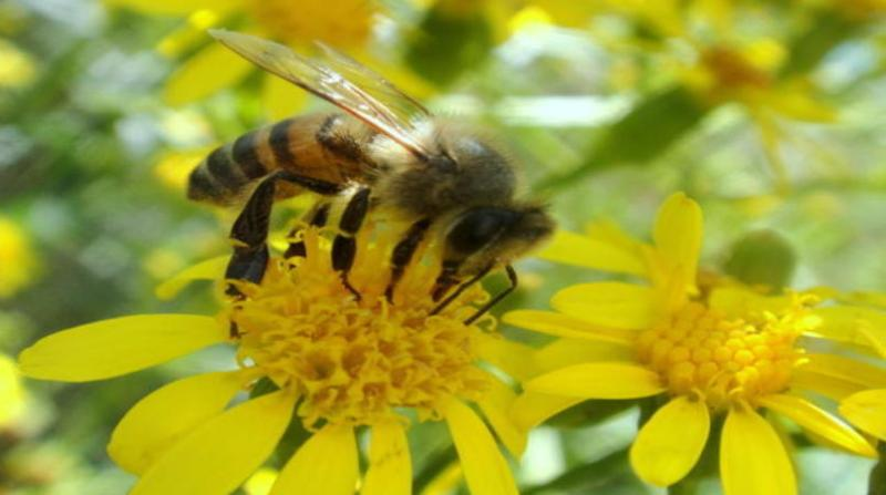 abelhas alberto massaro jr embrapa