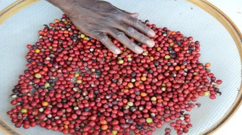 cafe gustavo porpino embrapa 17 4 19