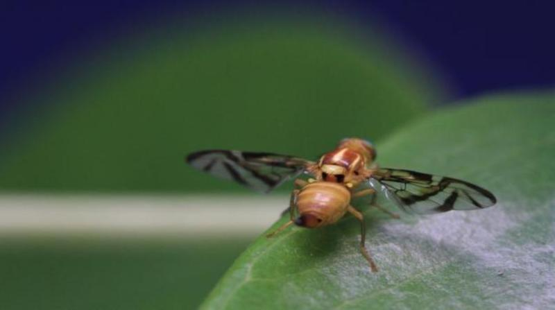 mosca das frutas paulo lanzetta embrapa