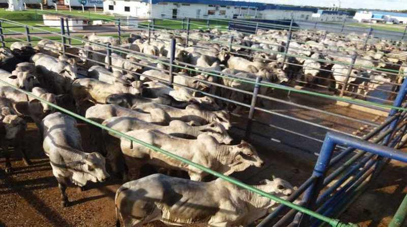 bovinos confirmamento Circuito-Nelore-de-Qualidade-Sao-Miguel-do-Guapore-ACNB-Friboi-Matsuda