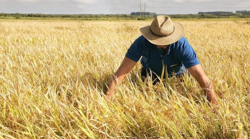 arroz lavoura produtor irga rs