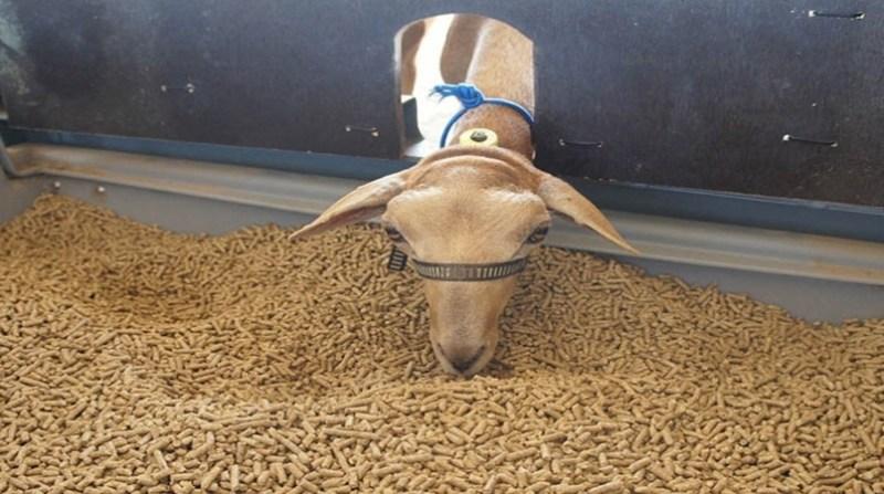 cabra comendo adilson nobrega embrapa