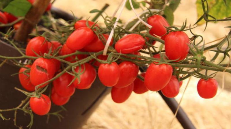 tomate claudio melo embrapa 17 6 19