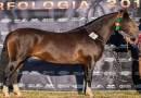 DF seleciona exemplares de Cavalo Crioulo para participar da Expointer
