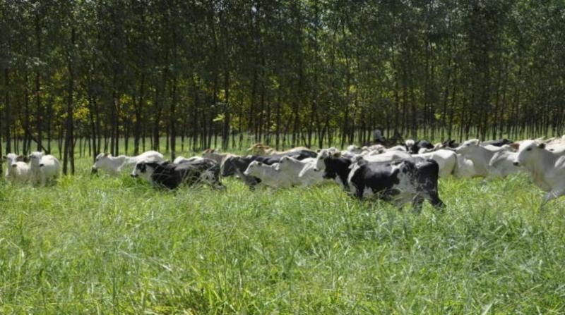 bovinos breno lobato 25 4 19 embrapa