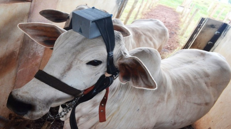 bovinos dispositivo rodrigo alva embrapa