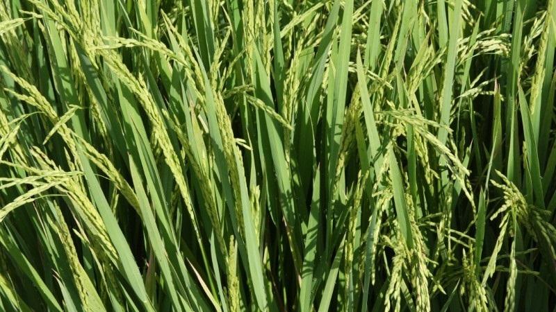lavouras arroz sergio pereira irga