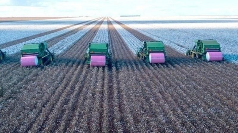algodao maquina rolo rosa colheita divulgacao