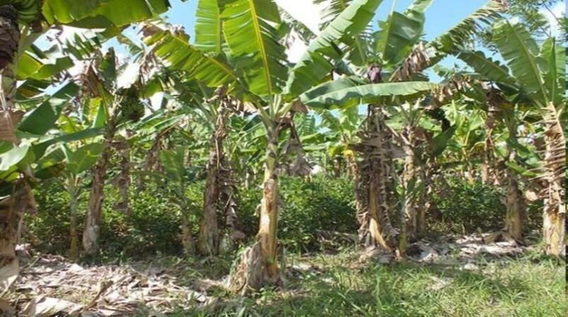 banana plantacao embrapa lea cunha embrapa