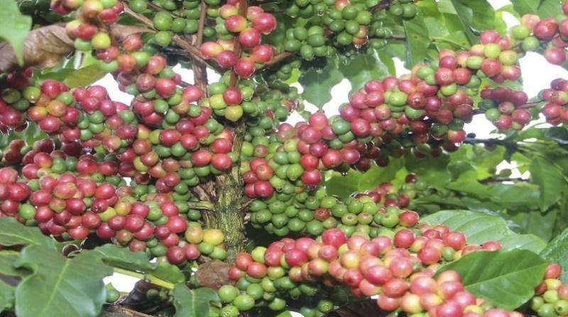 cafe Variedade Araponga agencia minas