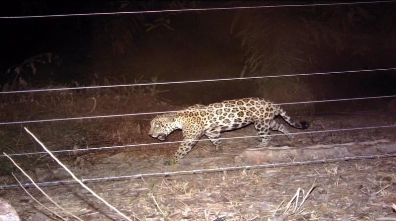onca pintada 1 TC Belgo-Arames-ONG-Panthera-Brasil-preservacao-onca-pintada-Pantanal-4
