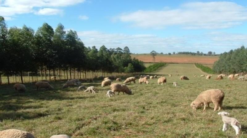 ovelhas rs jorge ribaski embrapa