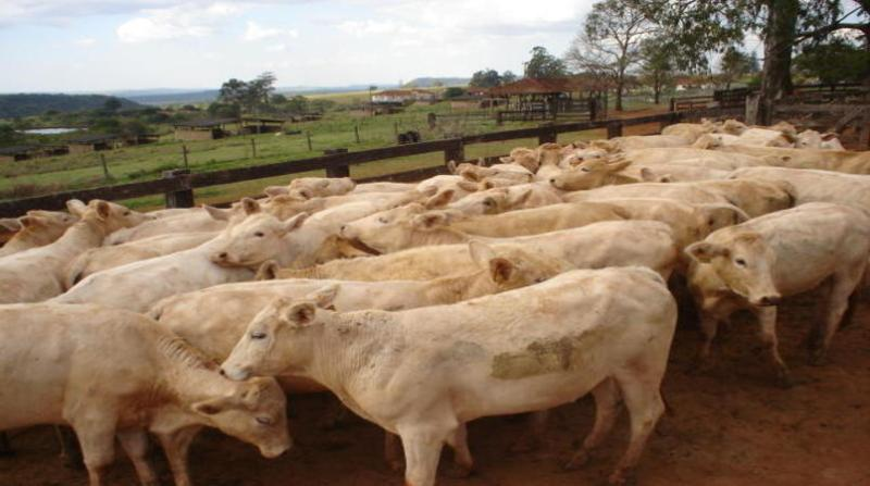 bovinos canchim ana carolina chagas embrapa