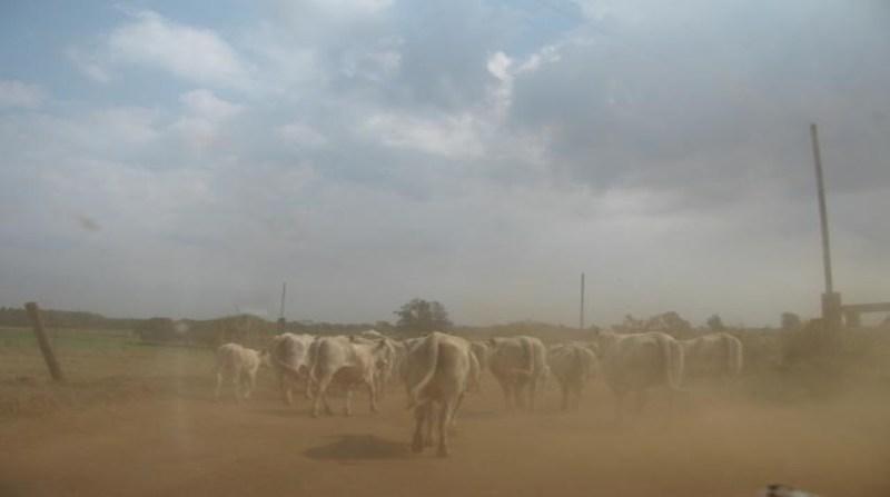 bovinos ana carolina chagas embrapa 23 1 2020