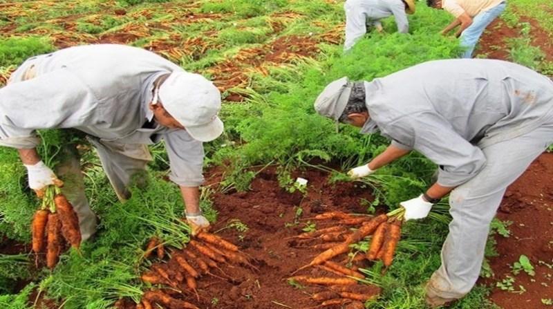 cenoura organica 1 agnaldo carvalho embrapa