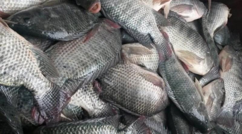 Brasil produz 758 mil toneladas de peixes de cultivo em 2019