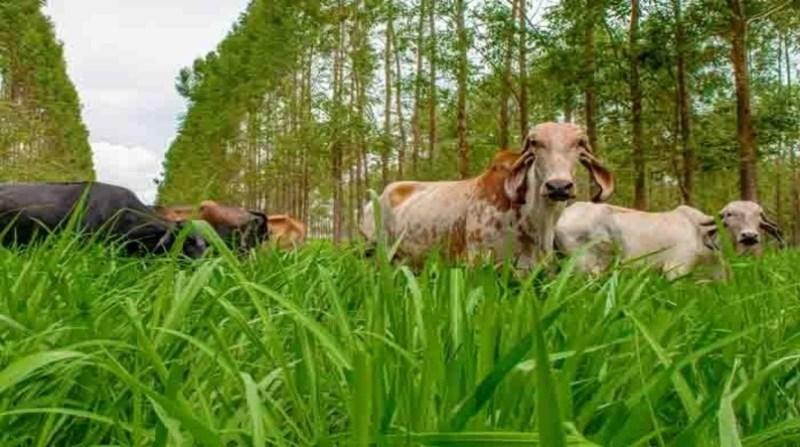 bovinos vacas ilpf fabiano bastos embrapa